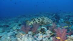 Grouper fish mating and swimming - Two footage Stock Footage