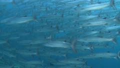 School of fish, barracuda - Malaysia, Sipadan Stock Footage