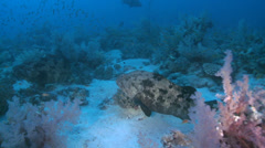 Marbled grouper fish swimming over bottom - Two footage! Stock Footage