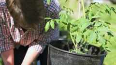 Repot tomato plant Stock Footage