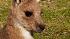 Kangaroo joey close up Stock Footage