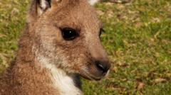 kangaroo joey close up - stock footage