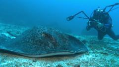 Marble ray on bottom, behind a scuba diver - Cocos Island Stock Footage
