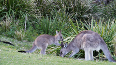 Kangaroo joey and mother Stock Footage