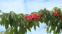 Rich harvest of berries cherries Stock Footage