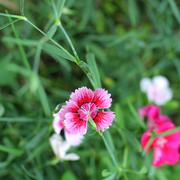 Close up of Dianthus chinensis flower Stock Photos