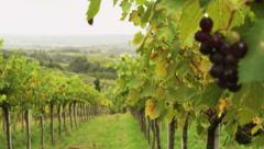 Beautiful shot in Vineyard at Sunny Day. Close-Up. Stock Footage