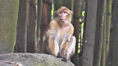 Pensive Monkey In The Woods Stock Footage