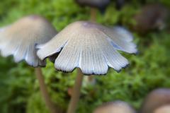 Glistening Inkcap - stock photo