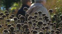 Dwarf Black-eyed Susan Garden Park Stock Footage