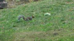 New York 263 Manhattan, Central Park, American squirrel runs on lawn Stock Footage