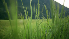Close up of grains of rice on a field. Stock Footage