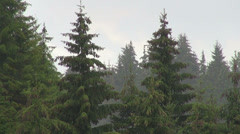 Summer rain in the mountains, landscape, pine trees Stock Footage