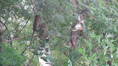 Young monkeys hanging and on vine in wild jungle Stock Footage
