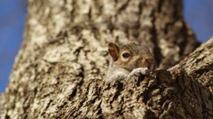 4 clips of squirrel in tree hole Stock Footage