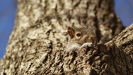 Stock Video Footage of 4 clips of squirrel in tree hole