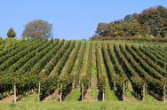 Stock Photo of vineyard detail
