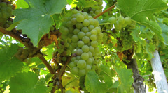 Mosel Moselle Zell Vineyard harvest in Autumn Rhineland-Palatinate Germany Stock Footage