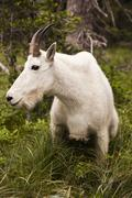 rocky mountain goat - stock photo