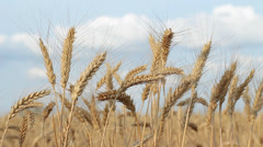 Scenic Ripe Wheat Ears against Sky with Clouds HD Stock Footage