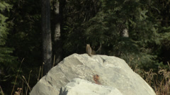 chipmunk on rock - stock footage
