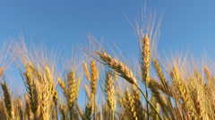 Golden Wheat against Blue Sky HD - stock footage