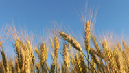 Golden Wheat against Blue Sky HD Stock Footage