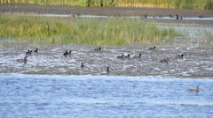 Coots in Prairie Pond Stock Footage