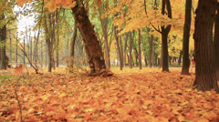 Bright yellow leaves fall from trees. Autumn Stock Footage