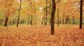 Beautiful  walk on autumn park. Stabilized clip Footage