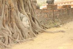 Sandstone buddha head covered tree root front brick wall. Stock Photos