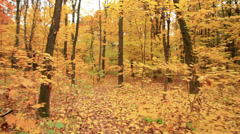 Bright  autumn  forest. Autumn. Stabilized  clip Stock Footage