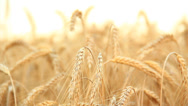 Stock Video Footage of Barley field