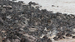 Wildebeest Clammer To Climb the Mara riverbank - stock footage
