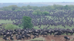 Wildebeest Mass for Mara River Crossing Stock Footage
