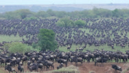 Stock Video Footage of Wildebeest Mass for Mara River Crossing
