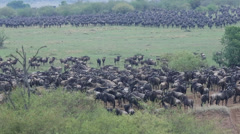 Wildebeest Mass at River Mara Prior to Crossing Stock Footage