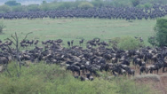 Stock Video Footage of Wildebeest Mass at River Mara Prior to Crossing