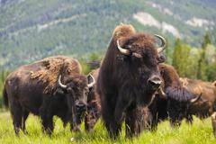 Amerikkalainen bison tai puhvelin avomaalla maiseman Kuvituskuvat