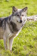 North american gray wolf, canis lupus Stock Photos