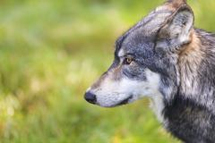 north american gray wolf, canis lupus - stock photo