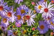 Stock Photo of bee on a  flower the chamomile