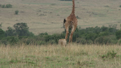 giraffe chased away by a lion - stock footage
