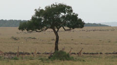 Giraffes and wildebeests migrating to different directions.3 Stock Footage