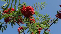 Ripe rowan berries hanging from tree Stock Footage