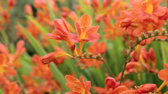 crocosmia seven sunrise plants and flowers - stock footage