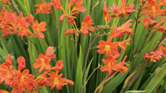 Crocosmia seven sunrise plants and flowers Stock Footage
