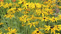 Rudbeckia plants in flower bed Stock Footage