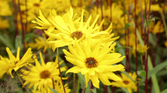 Yellow, helianthus, sunflowers flowering in a herbaceous border Stock Footage