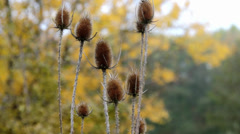 withered thorn, tree in the background - stock footage